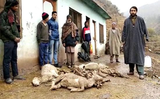 अज्ञात बीमारी से दो सो भेड़ो की मौत । पशुपालन विभाग पर लापरवाही का आरोप
