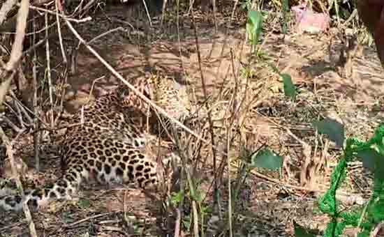 rescued leopard trapped in forest trap