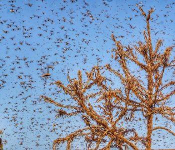 Locust attacks