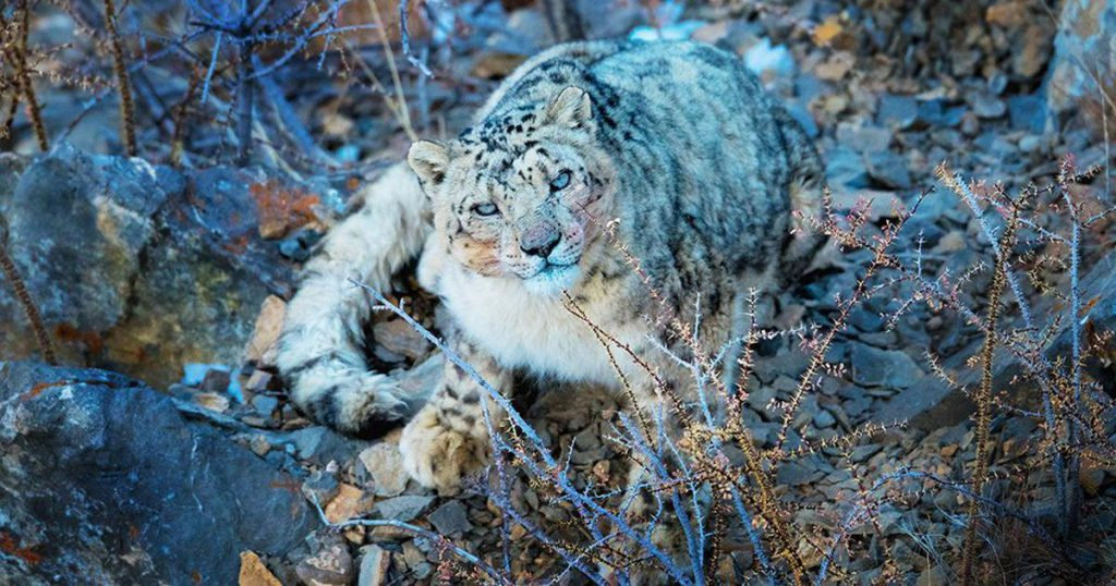 Himachal becomes first State to complete assessment of snow leopard and its wild prey