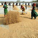 A total of 49.86 lakh tonnes of wheat has arrived in the mandis and procurement centres of Haryana