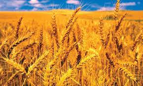 Haryana Government today has procured a total of 0.96 lakh tonnes of wheat through various procurement agencies