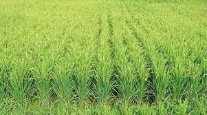 CAPT AMARINDER RIPS THROUGH KHATTAR'S TALL CLAIMS ON HARYANA'S PRO-FARMER INITIATIVES
