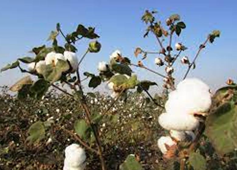 punjab government orders special girdawri to ascertain damage to cotton crops after pink bollworm attack
